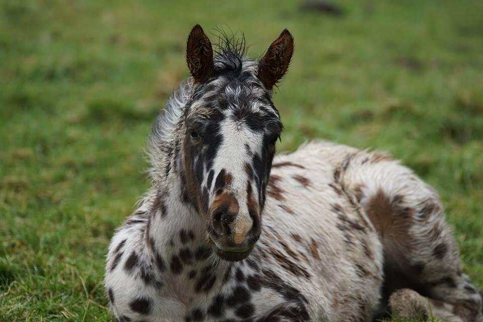 Apaloosa Foal