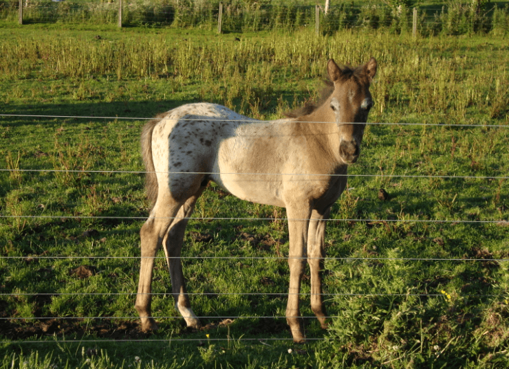 Mararoa Jasper